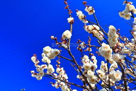 青空と梅(岐阜県安八町 百梅園)の写真素材 [FYI04091556]