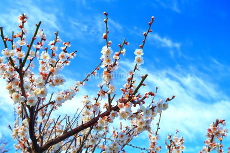 青空と梅(岐阜県安八町 百梅園)の写真素材 [FYI04091558]
