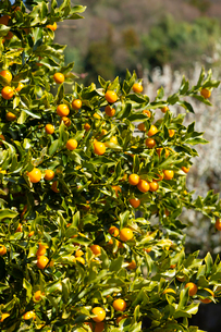 キンカンの果実の写真素材 [FYI04091616]
