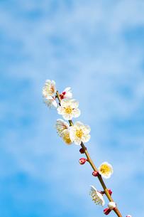 梅の花の写真素材 [FYI04091619]