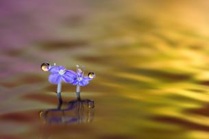 水に浮かぶ花としずくの写真素材 [FYI04091723]