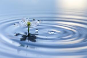 水に浮かぶ花としずくの写真素材 [FYI04091739]
