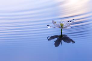 水に浮かぶ花としずくの写真素材 [FYI04091740]