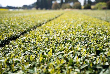 茶畑1の写真素材 [FYI04091853]