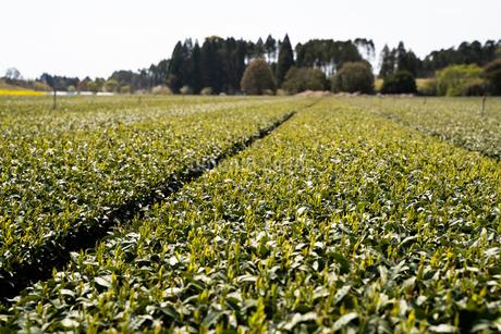 茶畑2の写真素材 [FYI04091854]