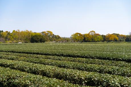 茶畑5の写真素材 [FYI04091857]