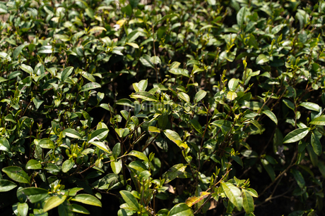 茶畑アップ3の写真素材 [FYI04091860]