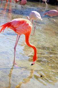 フラミンゴの日常の写真素材 [FYI04091998]