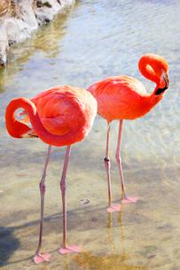 2羽のベニイロフラミンゴの写真素材 [FYI04092002]
