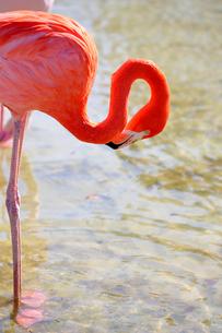 水かきがかわいいベニイロフラミンゴの写真素材 [FYI04092008]