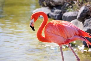 朱赤とピンクの羽が綺麗なベニイロフラミンゴの写真素材 [FYI04092011]
