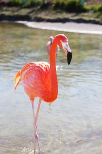 水の中を歩くベニイロフラミンゴの写真素材 [FYI04092013]