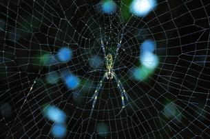 女郎蜘蛛と蜘蛛の巣の写真素材 [FYI04092421]