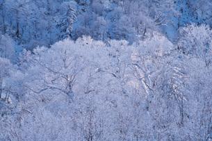 オロフレ峠の樹氷の写真素材 [FYI04092534]