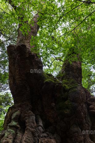 大楠の写真素材 [FYI04092560]