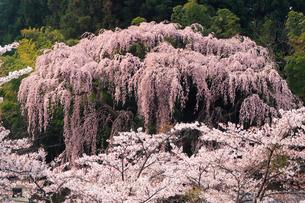 4月 福聚寺の紅枝垂れ桜 -福島の桜-の写真素材 [FYI04092561]