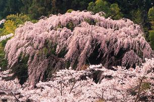 4月 福聚寺の紅枝垂れ桜 -福島の桜-の写真素材 [FYI04092562]