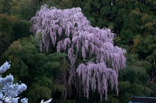 4月 福聚寺の紅枝垂れ桜 -福島の桜-の写真素材 [FYI04092563]