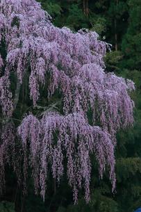 4月 福聚寺の紅枝垂れ桜 -福島の桜-の写真素材 [FYI04092564]