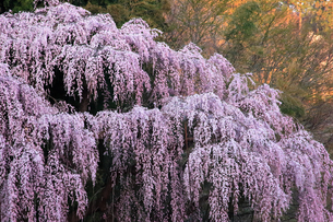 4月 福聚寺の紅枝垂れ桜 -福島の桜-の写真素材 [FYI04092565]