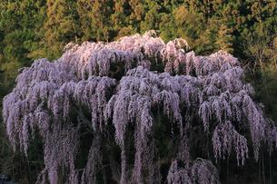 4月 福聚寺の紅枝垂れ桜 -福島の桜-の写真素材 [FYI04092566]