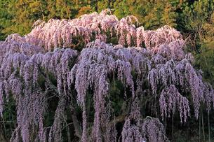 4月 福聚寺の紅枝垂れ桜 -福島の桜-の写真素材 [FYI04092567]