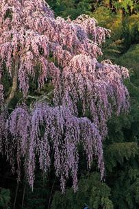 4月 福聚寺の紅枝垂れ桜 -福島の桜-の写真素材 [FYI04092568]