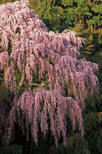 4月 福聚寺の紅枝垂れ桜 -福島の桜-の写真素材 [FYI04092569]