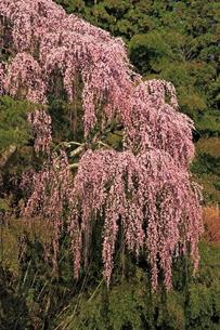 4月 福聚寺の紅枝垂れ桜 -福島の桜-の写真素材 [FYI04092571]