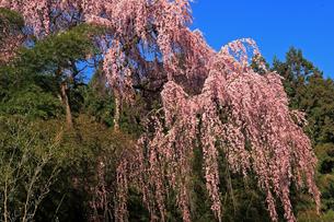 4月 福聚寺の紅枝垂れ桜 -福島の桜-の写真素材 [FYI04092572]