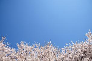 青空と桜の写真素材 [FYI04092717]