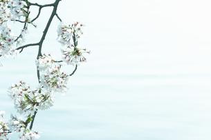 川面と桜の写真素材 [FYI04092718]