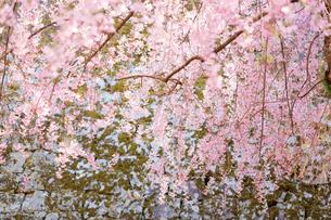桜の写真素材 [FYI04092864]
