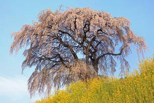 4月 芹ヶ沢の桜 -福島の桜-の写真素材 [FYI04092874]