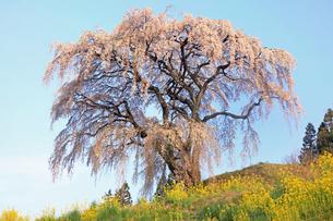 4月 芹ヶ沢の桜 -福島の桜-の写真素材 [FYI04092875]