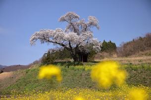 4月 小沢の桜 -福島の桜-の写真素材 [FYI04092894]