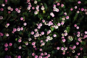 小さなヒメツルソバの花の写真素材 [FYI04092912]