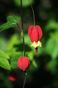 ウキツリボクの赤い花の写真素材 [FYI04092917]