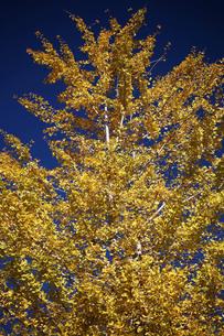 イチョウの黄葉の写真素材 [FYI04092923]