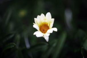 咲き始めたガザニアの花の写真素材 [FYI04092926]