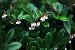 小さなハマヒサカキの花の写真素材 [FYI04092930]
