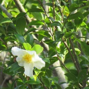 椿とよく似た山茶花の写真素材 [FYI04092993]