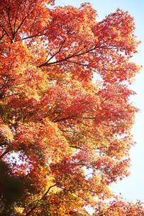 色づき始めたモミジの紅葉の写真素材 [FYI04093012]