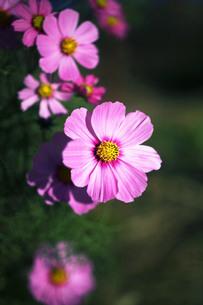 コスモスの花咲くの写真素材 [FYI04093097]