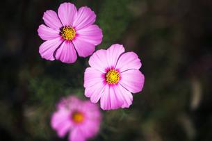 コスモスの花咲くの写真素材 [FYI04093098]