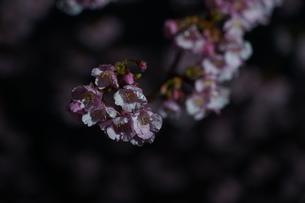 河津桜の写真素材 [FYI04093138]