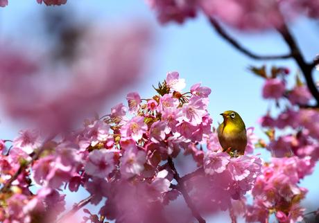 河津桜とメジロの写真素材 [FYI04093141]
