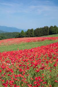 ポピーの花畑の写真素材 [FYI04093149]