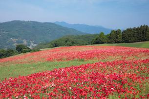 ポピーの花畑の写真素材 [FYI04093151]