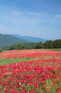ポピーの花畑の写真素材 [FYI04093152]